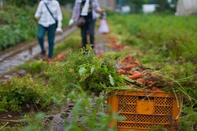 特別栽培野菜の収穫・人参
